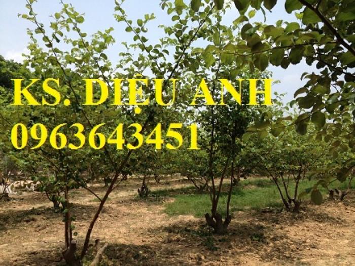 Mua cây giống táo: cây giống táo lê Đài Loan, cây giống táo lai lê, cây giống táo Đài Loan chuẩn F1 ở đâu?4