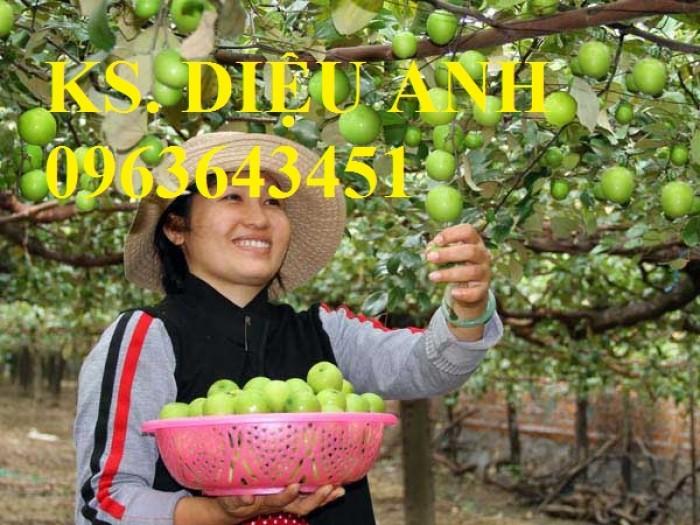 Mua cây giống táo đào vàng, cây giống táo chua, cây giống táo chuẩn F1 ở đâu?3