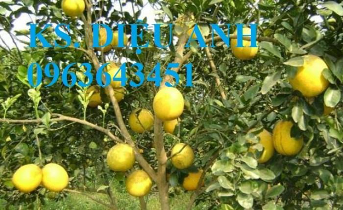 Mua cây giống táo đào vàng, cây giống táo chua, cây giống táo chuẩn F1 ở đâu?4