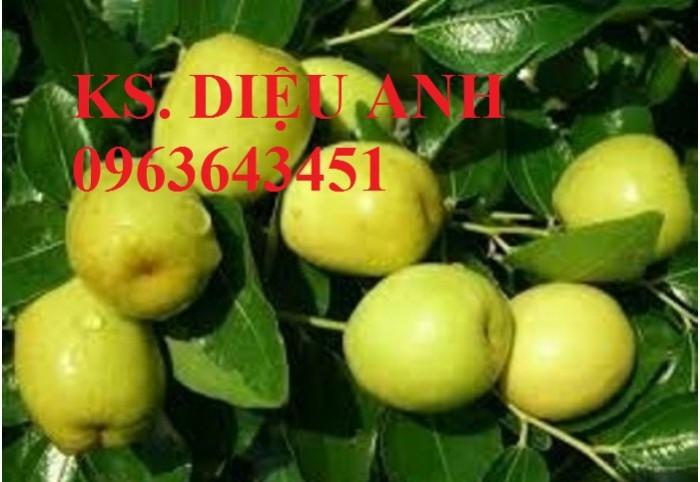 Mua cây giống táo đào vàng, cây giống táo chua, cây giống táo chuẩn F1 ở đâu?5