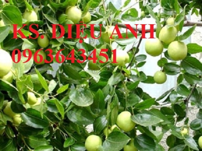 Mua cây giống táo đào vàng, cây giống táo chua, cây giống táo chuẩn F1 ở đâu?9