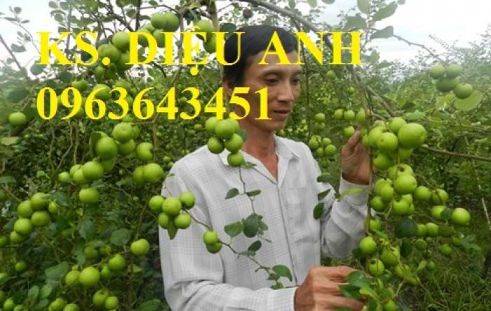 Mua cây giống táo đại, cây giống đại táo, cây giống táo quả to chuẩn F1, số lượng lớn ở đâu?0