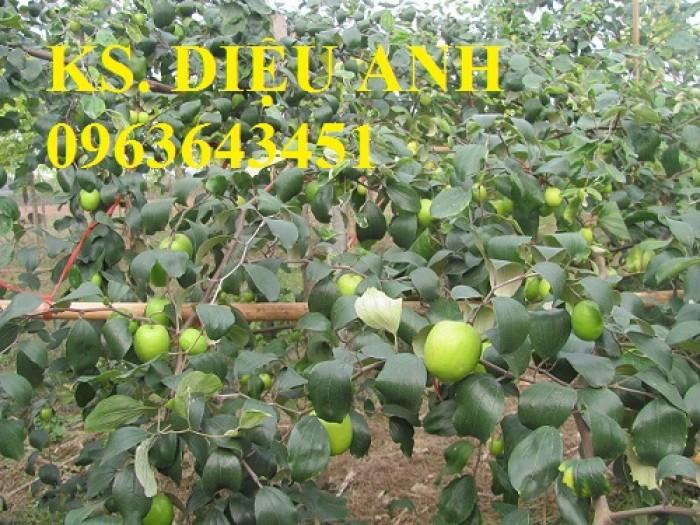 Mua cây giống táo đại, cây giống đại táo, cây giống táo quả to chuẩn F1, số lượng lớn ở đâu?4