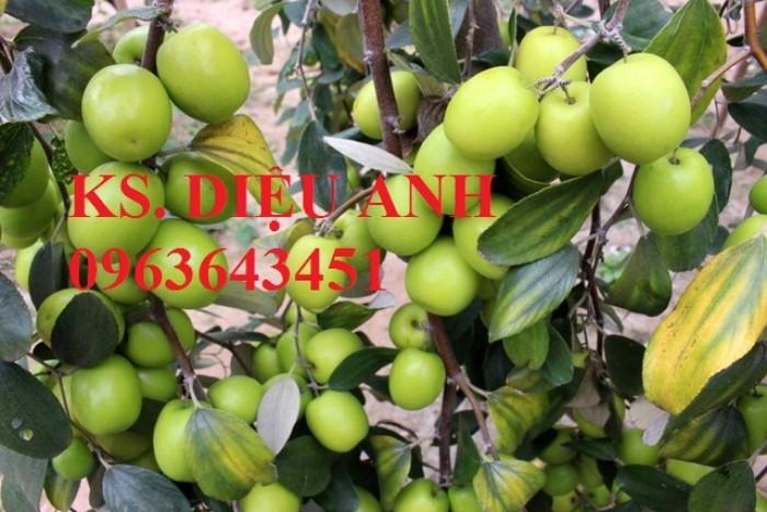 Mua cây giống táo D28, cây giống táo T5, cây giống táo H12, cây giống táo lai, cây giống táo ngọt quả to chuẩn F1 ở đâu?0