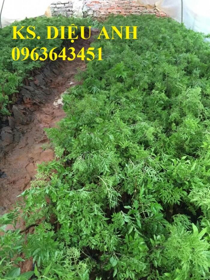Dự án liên kết sản xuất trồng và thu mua sản phẩm đầu ra cây đinh lăng nếp lá