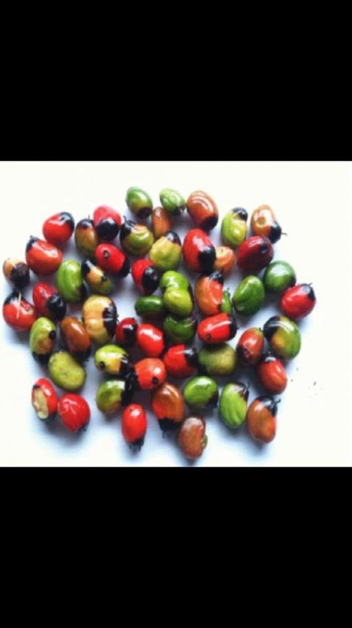 Chuyên cung cấp cây giống, hạt giống dược liệu: cây giống sâm ngọc linh, hạt giống sâm ngọc linh chuẩn, giao cây toàn quốc3