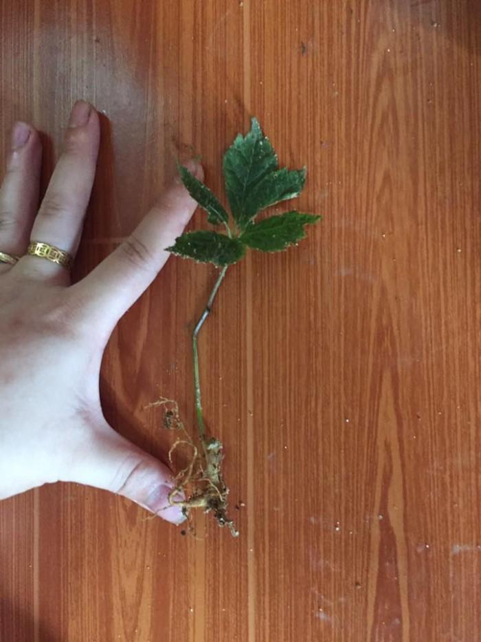 Chuyên cung cấp cây giống, hạt giống dược liệu: cây giống sâm ngọc linh, hạt giống sâm ngọc linh chuẩn, giao cây toàn quốc7
