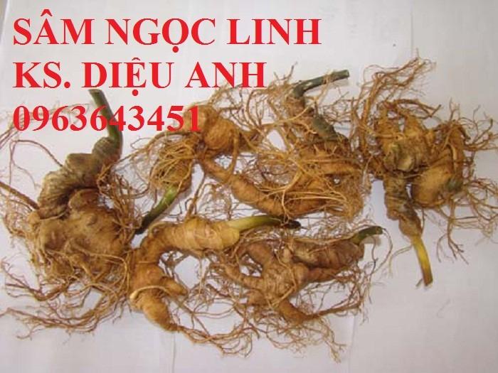 Chuyên cung cấp cây giống, hạt giống dược liệu: cây giống sâm ngọc linh, hạt giống sâm ngọc linh chuẩn, giao cây toàn quốc8