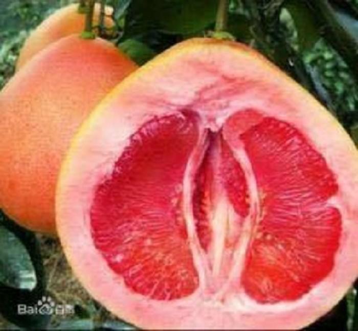 Cung cấp cây giống bưởi đỏ phúc kiến và hợp đồng cam kết bao tiêu5