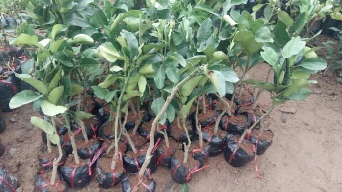 Cung cấp cây giống bưởi đỏ phúc kiến và hợp đồng cam kết bao tiêu16