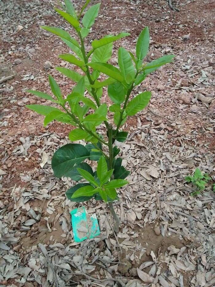 Cung cấp cây giống bưởi đỏ phúc kiến và hợp đồng cam kết bao tiêu18