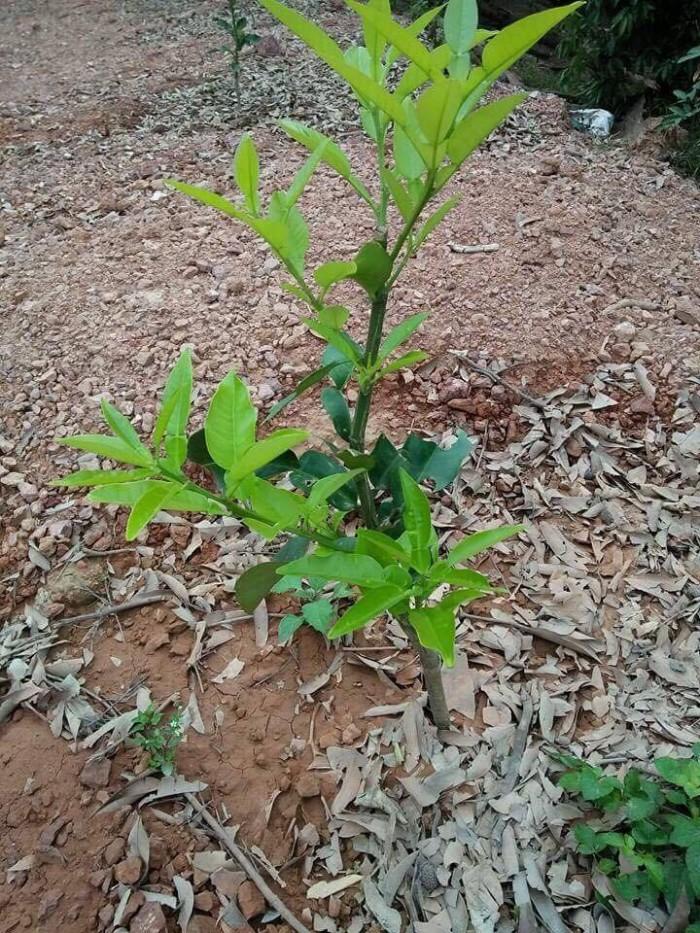 Cung cấp cây giống bưởi đỏ phúc kiến và hợp đồng cam kết bao tiêu30