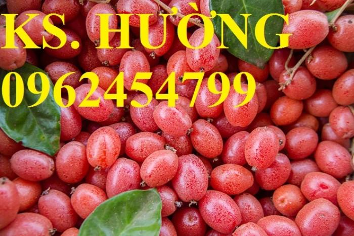 Cung cấp cây giống nhót mỹ, cây nhót tây (nhót ngọt cao sản), chuẩn giống nhập khẩu, giao hàng toàn quốc17