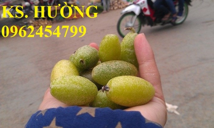 Cung cấp cây giống nhót mỹ, cây nhót tây (nhót ngọt cao sản), chuẩn giống nhập khẩu, giao hàng toàn quốc21