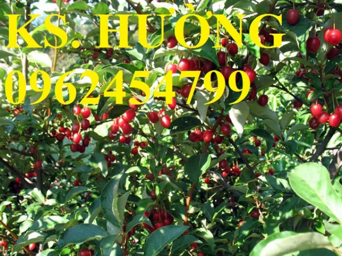 Cung cấp cây giống nhót mỹ, cây nhót tây (nhót ngọt cao sản), chuẩn giống nhập khẩu, giao hàng toàn quốc31