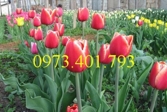 Củ giống hoa Tulip uy tín, giá rẻ0