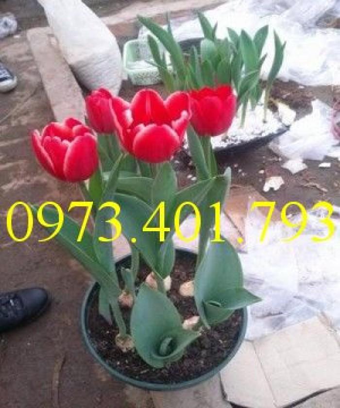 Củ giống hoa Tulip uy tín, giá rẻ2