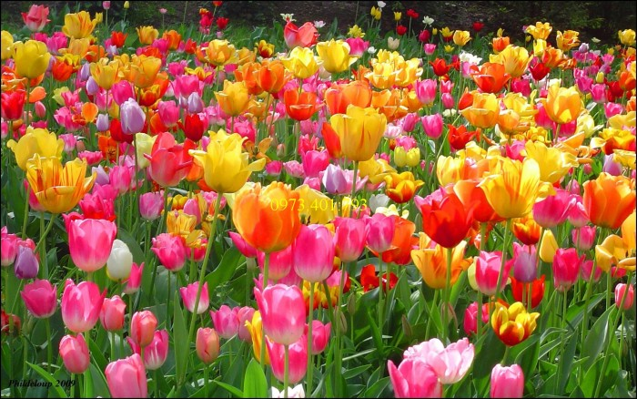 Củ giống hoa Tulip uy tín, giá rẻ3
