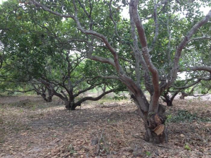 Bán gấp 1.000 m2 đất vườn ( Sổ đỏ ) , gần sân bay Long Thành.