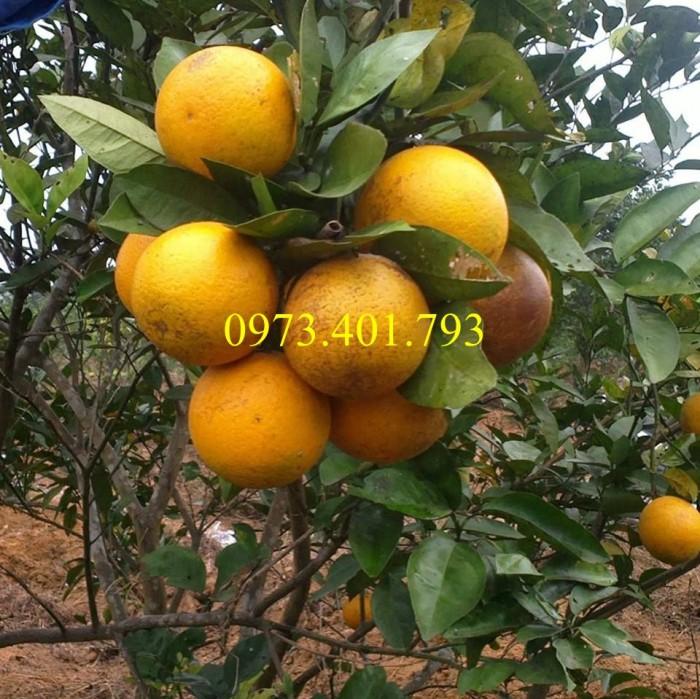 Các loại cây giống cam3