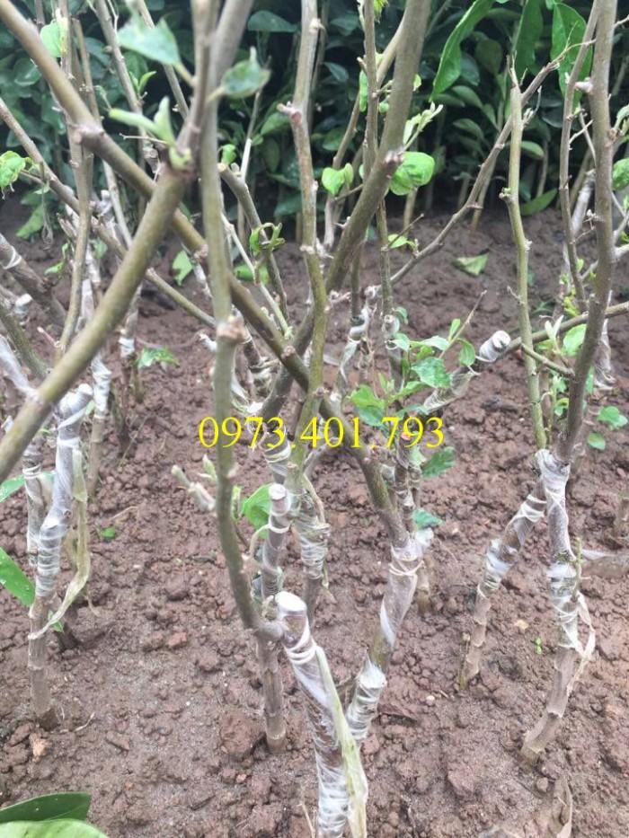 Các loại cây giống táo chất lượng1