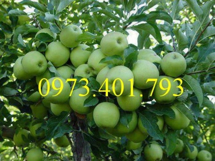 Các loại cây giống táo chất lượng5
