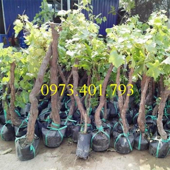Các loại cây giống nho1