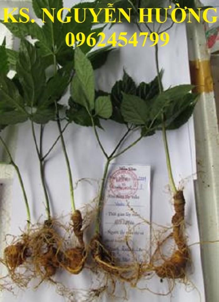 Cung cấp hạt giống sâm ngọc linh, cam kết chuẩn giống, giao hàng toàn quốc2