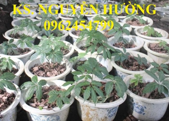 Cung cấp hạt giống sâm ngọc linh, cam kết chuẩn giống, giao hàng toàn quốc1