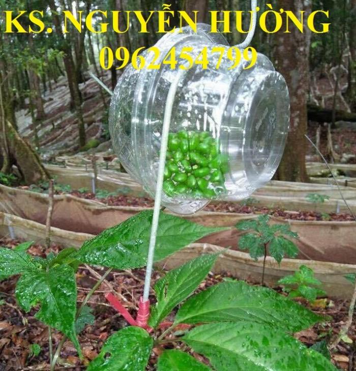 Cung cấp hạt giống sâm ngọc linh, cam kết chuẩn giống, giao hàng toàn quốc5