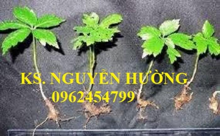 Cung cấp hạt giống sâm ngọc linh, cam kết chuẩn giống, giao hàng toàn quốc7