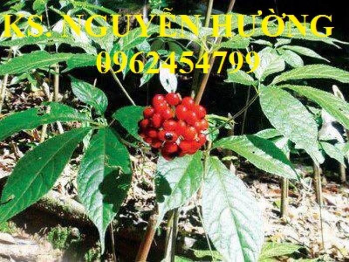 Cung cấp hạt giống sâm ngọc linh, cam kết chuẩn giống, giao hàng toàn quốc12