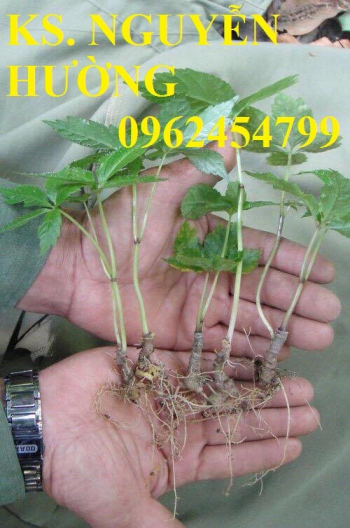 Cung cấp hạt giống sâm ngọc linh, cam kết chuẩn giống, giao hàng toàn quốc15