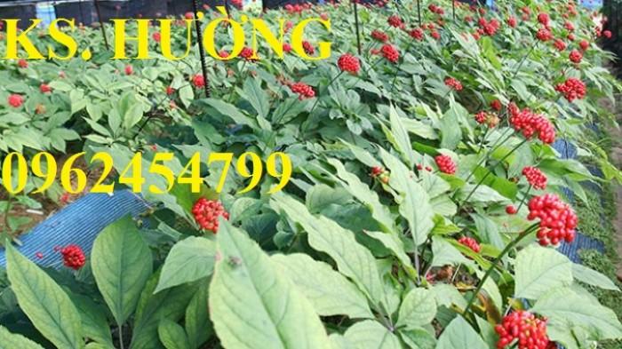 Cung cấp hạt giống sâm ngọc linh, cam kết chuẩn giống, giao hàng toàn quốc29