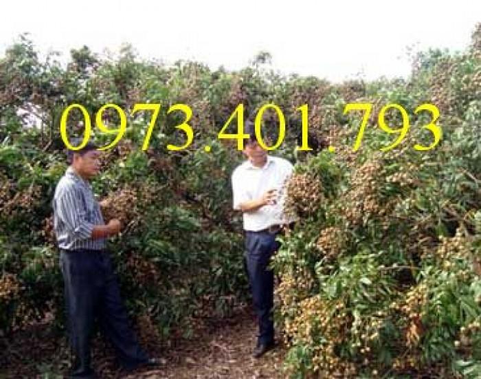 Chuyên Cung cấp các loại  giống cây nhãn uy tín, chất lượng2
