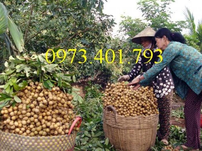 Chuyên Cung cấp các loại  giống cây nhãn uy tín, chất lượng3