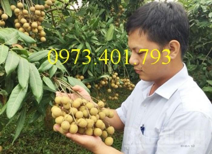 Chuyên Cung cấp các loại  giống cây nhãn uy tín, chất lượng4
