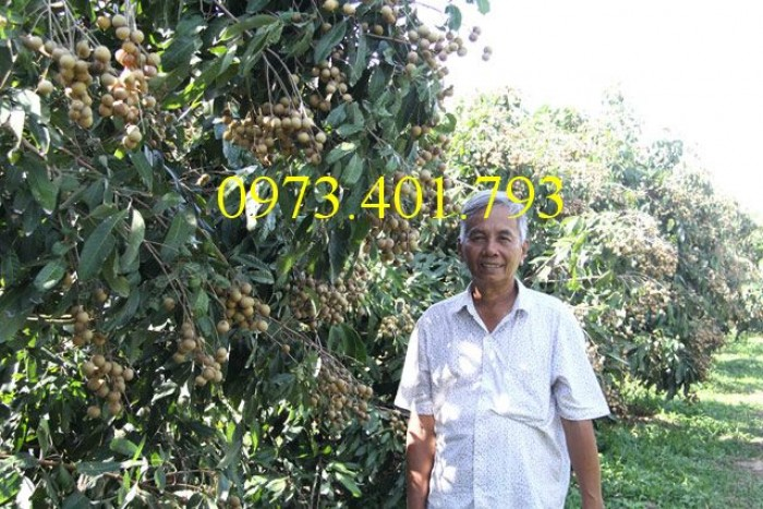 Chuyên Cung cấp các loại  giống cây nhãn uy tín, chất lượng5