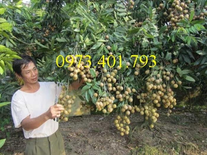 Chuyên Cung cấp các loại  giống cây nhãn uy tín, chất lượng6