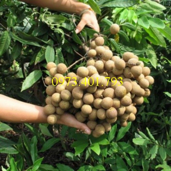 Chuyên Cung cấp các loại  giống cây nhãn uy tín, chất lượng7