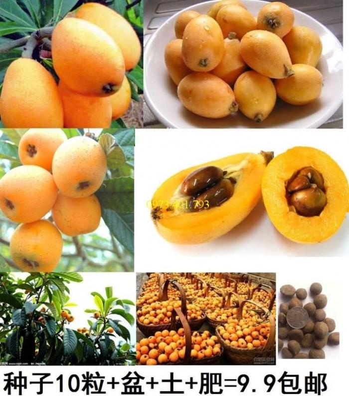 Cung cấp giống cây Biwa chất lượng, giá rẻ4