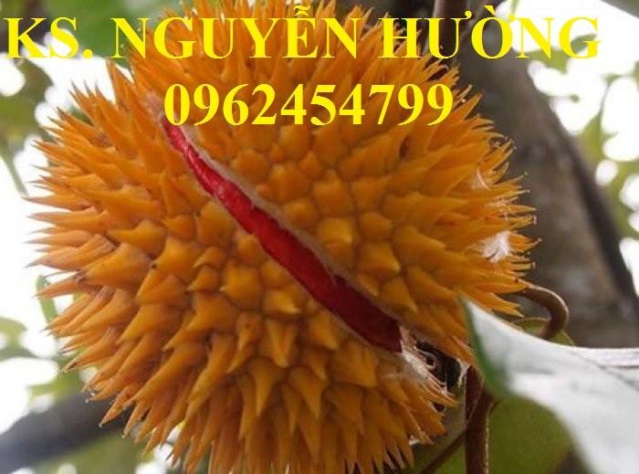Cung cấp cây giống sầu riêng ruột đỏ, chuẩn giống nhập khẩu, giao hàng toàn quốc1