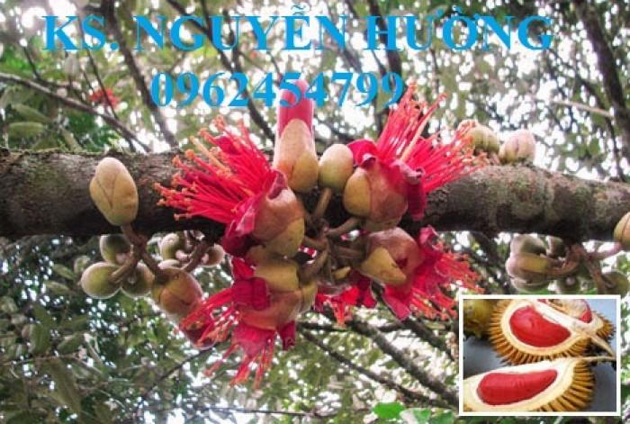 Cung cấp cây giống sầu riêng ruột đỏ, chuẩn giống nhập khẩu, giao hàng toàn quốc11