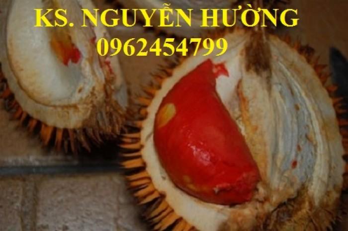 Cung cấp cây giống sầu riêng ruột đỏ, chuẩn giống nhập khẩu, giao hàng toàn quốc16