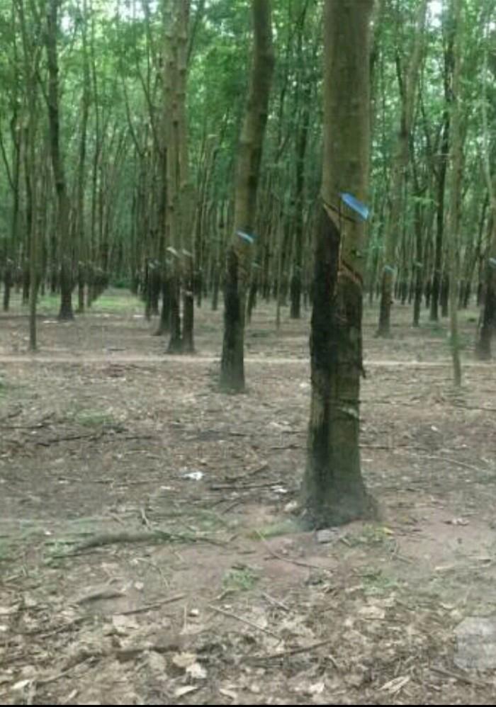 Bán gấp 4ha đất cao su gần thị trấn Chơn Thành
