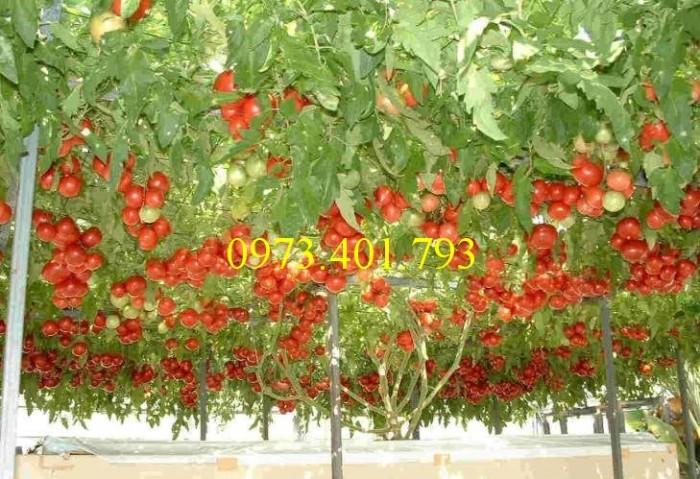 Hạt giống cà chua bạch tuộc uy tín0