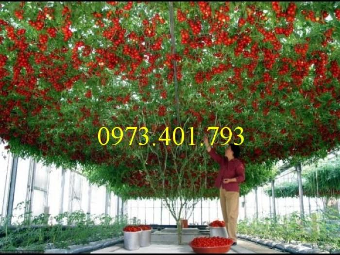 Hạt giống cà chua bạch tuộc uy tín1