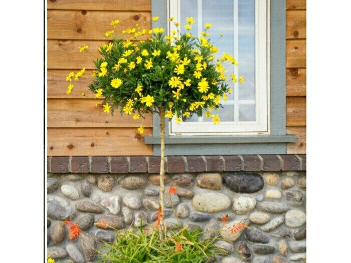 Cây cúc thân gỗ - Cúc trường thọ1