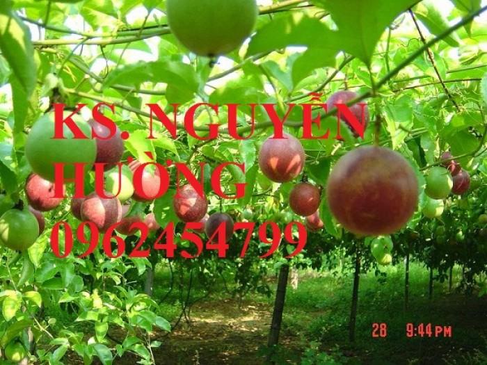 Cung cấp giống cây chanh leo, chanh dây tím đài loan cây ghép, chuẩn nhập khẩu, giao cây toàn quốc4