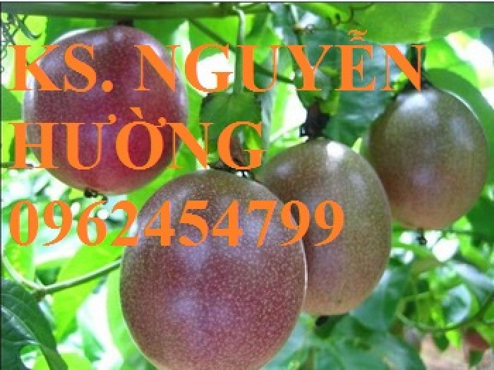 Cung cấp giống cây chanh leo, chanh dây tím đài loan cây ghép, chuẩn nhập khẩu, giao cây toàn quốc5